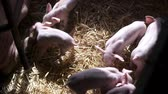 kismalac : Pigs on Livestock Farm. Pig Farming. Young Piglets at Stable.