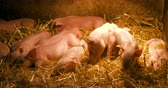 ミニ : Pigs on Livestock Farm. Pig Farming. Young Piglets at Stable.