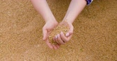 tohumlar : wheat grains in farmer hands agriculture