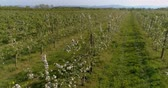 albero di mele : apple orchard in august aerial shoot