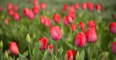 colorful backgrounds : Tulips Plantation in Netherlands Agriculture Stock Footage