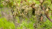 druiven : Bunch of Grapes on Vineyard at Vine Production Farm Stockvideo