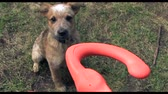 прочный : Puppy Jumping For Play Toy. A owner playing with a puppy with a rubber toy with master pov. Стоковые видеозаписи