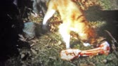 nostalgie : CHATTANOOGA, USA - 1956: Lassie looking style dog is confused seeing a giant bone. Original vintage 8mm home movie film professionally cleaned and captured in 4k 3840x2160 UHD resolution plus post processing including cinematic retro color correction, def Dostupné videozáznamy