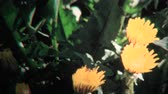 político : 8mm Vintage 1968 Timelapse of Yellow Flowers Blooming