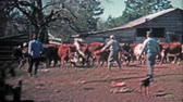 GREENSBORO, NC -1971: Men corralling cattle for the local meat market.