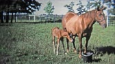 GREENSBORO, NC -1973: Mother and baby horse stay close to keep safe. Стоковые видеозаписи