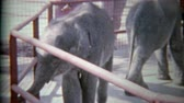 1963: Baby elephants in small zoo holding pens on display for wealthy humans.