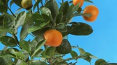 coloured background : Mandarin oranges on the tree
