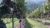фрукты : Lemberger vines near Stetten, Württemberg, Germany Стоковые видеозаписи