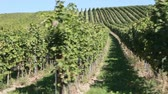 ver��o : A vineyard in Deutschkreutz, Austria
