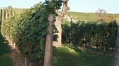 landscape : A vineyard in Deutschkreutz, Austria