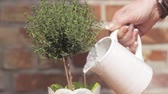 thyme : Thyme in a pot being watered Stock Footage
