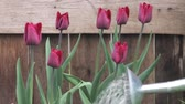 tulip : Dark red tulips being watered with a watering can Stock Footage
