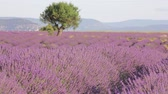 pálido : A flowering lavender field with a mountain landscape in the background Stock Footage