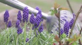 blooming : Grape hyacinths being watered with a watering can