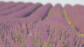 pálido : Avenues of grass separate the rows of lavender which stretch as far as the eye can see