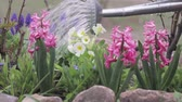 flowering bulbs : Hyacinths and primroses being watered with a watering can Stock Footage