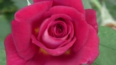 perfume : A red rose (detail)