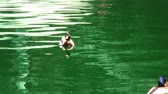 brinquedos : Male mallard duck floating on green water. The shot zooms out to show more ducks and the pool where they are floating, complete with toy sailboats.