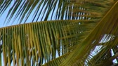 гавайский : Closeup of green and yellow palm tree fronds swaying in the wind with blue sky background.