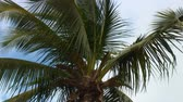 гавайский : Low angle shot of the top of a large palm tree with long fronds swaying in wind with blue and white background