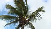 гавайский : Low angle tilted shot of the top of a large palm tree with long fronds swaying in wind with blue and white background