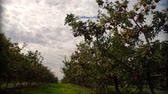 wzrost : Timelapse of clouds passing by in an apple orchard.