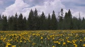 girassol : Wide shot of field of sun flowers and pine trees