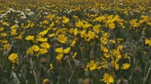 windy : Medium close shot of sun flowers in a field Stock Footage