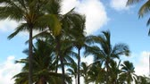 windy : Group of palm trees sway in the wind with blue sky and clouds above. Stock Footage