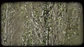alerta : Grey and yellow cardinal perches and jumps from branch to branch on narrow aspen trees in a marsh. Vintage stylized video clip. Stock Footage