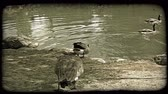 davranış : Two geese with grey and black feathers and black necks, follow behind other three geese already swimming, toward and then into pond surrounded by rocks and trees and dirt. Vintage stylized video clip. Stok Video