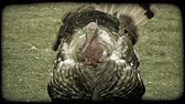 atrair : Wild male turkey, holding red neck and beak in, struts along with colorful feathers plumed out in display. Vintage stylized video clip.