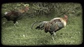 olhar : Two wild chickens with colorful feathers walk along on grass by green bushes. Vintage stylized video clip.