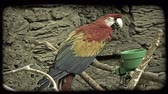 живой : Colorful tropic toucan, with red, yellow, blue, and green feathers, sits atop a branch against a grey wall with a green feeding pot to his side, in captivity at a zoo. Vintage stylized video clip.