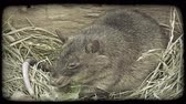 kürk : Light black and grey rat sits by rock on top of dry grass and eats lettuce in captivity in a zoo. Vintage stylized video clip.