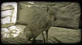 tomada : Large jack rabbit or jackaroo with light brown fur sits perched on top of a woody ledge, looks around, and then jumps down from the ledge while in captivity at a zoo. Vintage stylized video clip. Stock Footage