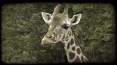 mastigação : Close-up of top of brown and white colored giraffe as it chews and slurps its food, sticking out its tongue as it eats, with green forage trees in background. Vintage stylized video clip. Vídeos