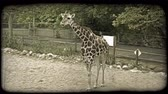 żyrafa : Wide shot of brown and white colored giraffe as it chews and slurps its food, sticking out its tongue as it eats while in captivity at a zoo, with green forage trees, walkway, retaining wall, fence, and dirt in background. Vintage stylized video clip.