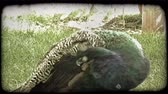 tavuskuşu : Colorful peacock, with green, blue, orange, and brown feathers, with tiny feathers coming up from its head, bends over to clean and preen its back feathers, while standing in grass near a fence at a zoo. Vintage stylized video clip.