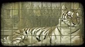 kotki : Large female Bengal tiger looks around casually while lying down in a zoo cage. Vintage stylized video clip. Wideo