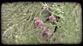 europa : A shot of some purple flowers in Italy. Vintage stylized video clip.