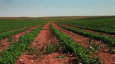 linha do horizonte : Wide static shot of rows of green cultivated bean plants, planted in rows in the dry, cracked soil of Israel.