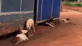davranış : Seven goats sit in a small village in Ghana called Adomorobe.