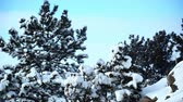 harikalar diyarı : Stationary view of multiple pine trees and rocks covered in snow in Wyoming with a light blue sky backdrop during a windy day. Stok Video