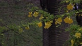 frezja : Shot of yellow freesia flowers climbing and wrapping around a black overhanging wire. Shot in on May 8, 2012.