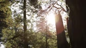 emaranhado : Sun shining through the trees in a forest in Northern California. There is a lens flare created by the sun shining through the branches. Stock Footage