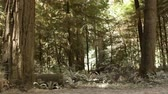 köknar ağacı : Drive by of low pine trunks and growth in forest, shows depth in forest. California. Stok Video