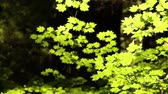 bosques : Close-shot pan of fern and ground growth catching sunshine in a pine forest. California. Stock Footage